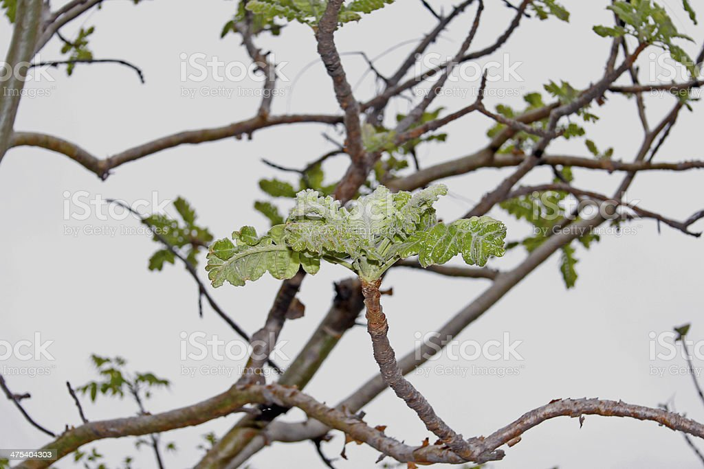 Boswellia Serrata stock photo