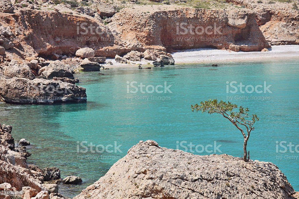 Boswellia tree (Frankincense tree) with turquoise sea water background stock photo