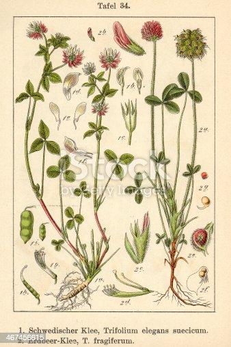 Trifolium elegans suecicum et Trifolium fragiferum