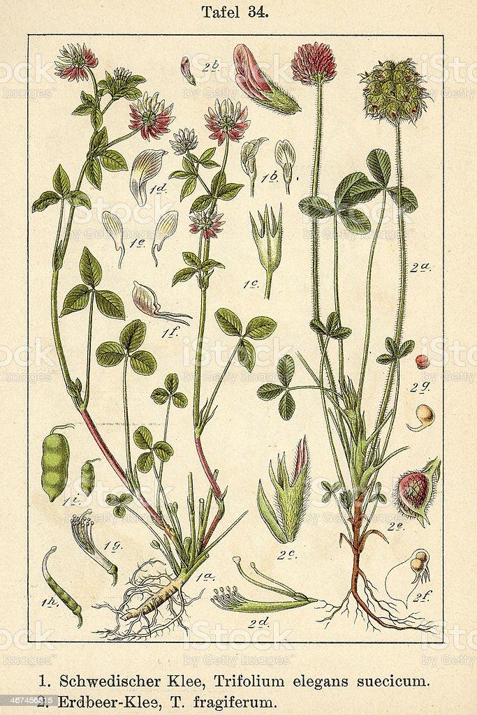 Botanic FiA v09 t34 Trifolium elegans suecicum et fragiferum stock photo