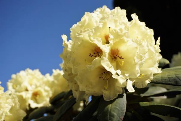 Botanic flowers - spring 2018 - yellow rhododendron stock photo