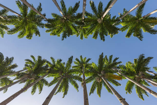 botanic garden in rio de janeiro brazil with palm tree alley - symmetry stock photos and pictures