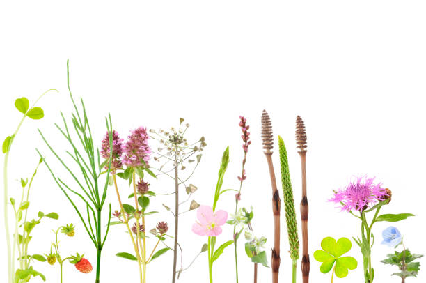 botanical background of field plants and flowers - knotweed stock pictures, royalty-free photos & images