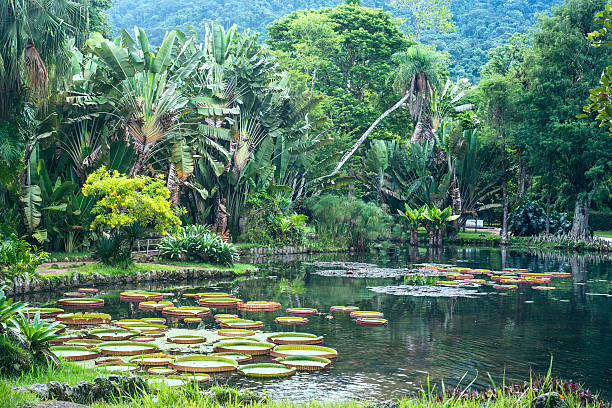 Botanical Garden of Rio de Janeiro, Brazil Victoria Regia - the largest water lily in the world, Botanical Garden of Rio de Janeiro, Brazil victoria water lily stock pictures, royalty-free photos & images