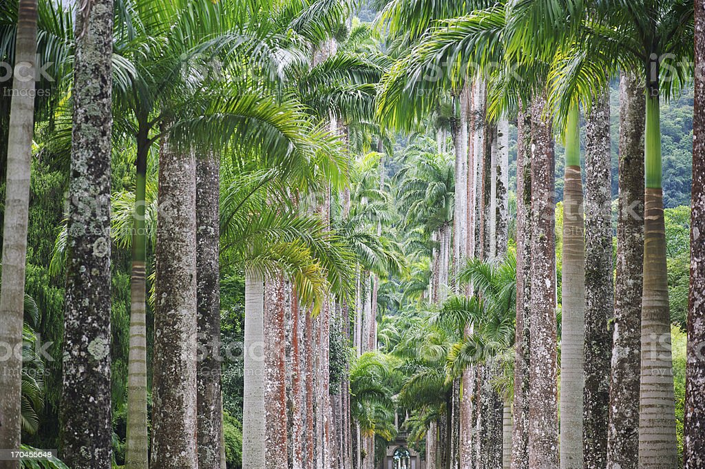 Botanical Gardens Royal Palm Trees in a Row Full Frame stock photo