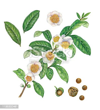 botanical illustration of a plant of tea (Camelia sinensis) with leaves, flowers and seeds on white background