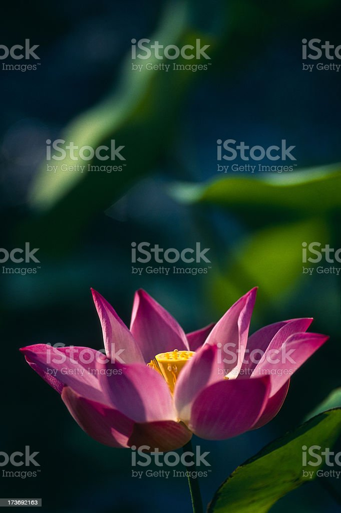 Botanical Plant. royalty-free stock photo