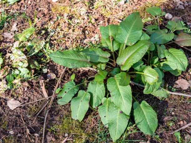 Botanical rumex obtusifolius in the spring