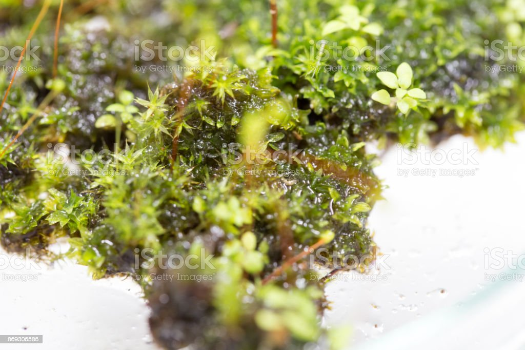 Botanically, mosses are non-vascular plants in the land plant division Bryophyta. stock photo