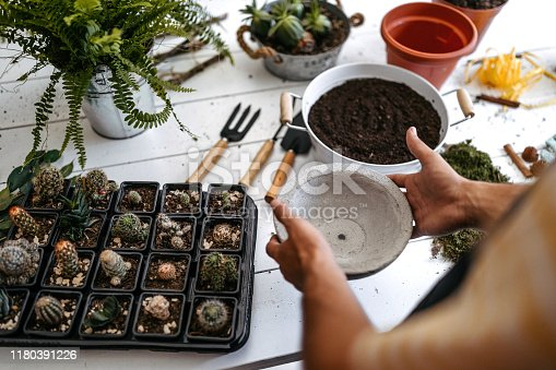 Unrecognizable botanist arranging cactus, working with garden tools