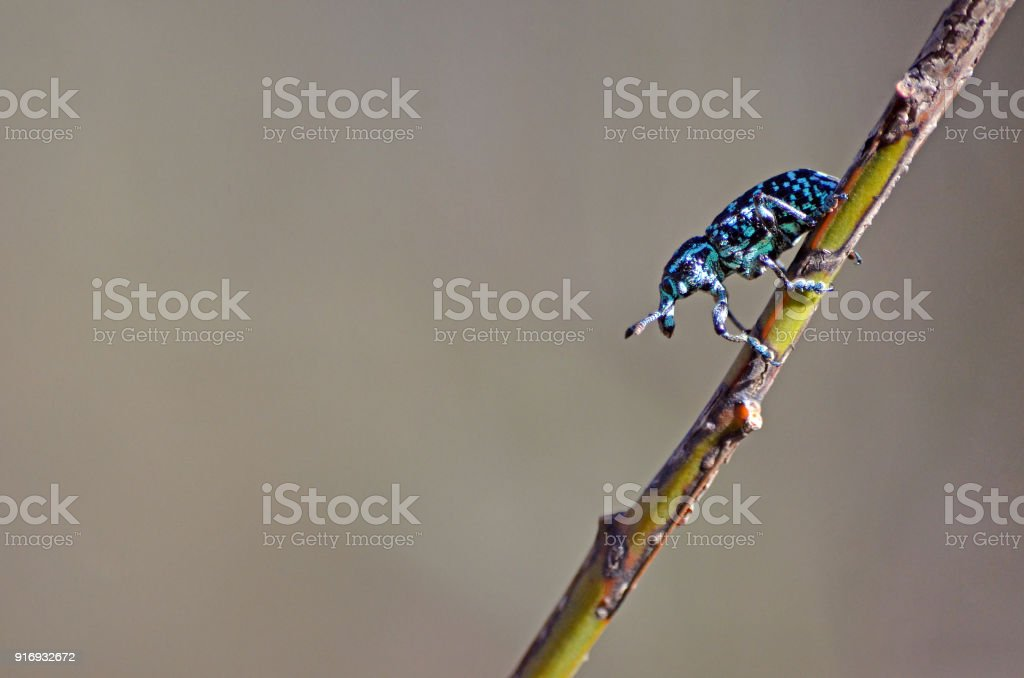 Botany Bay Weevil on Acacia stem stock photo