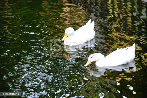 White Duck In Lake Water