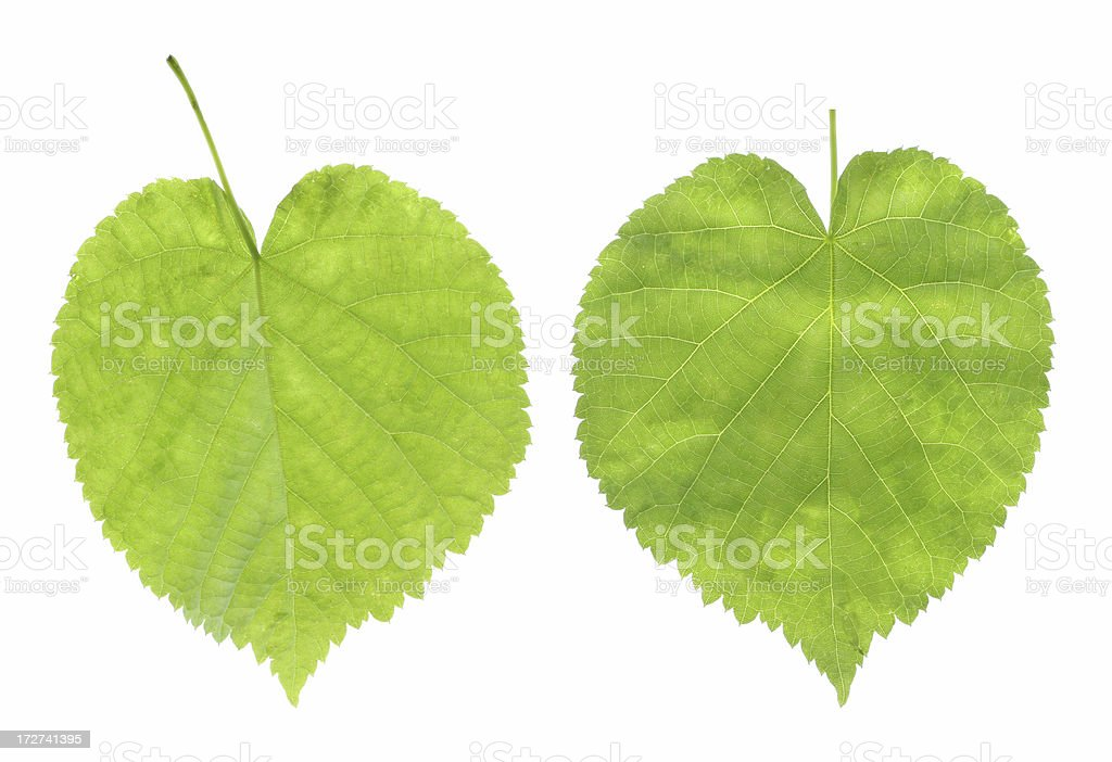 both sides of a leaf royalty-free stock photo