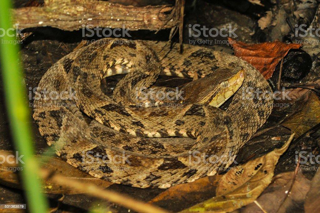 Bothrops asper snake im tropischen Regenwald – Foto
