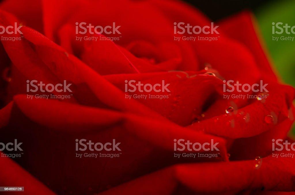 Botão de Rosa royalty-free stock photo