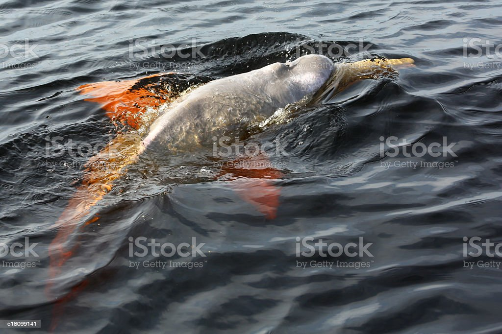 Boto dolphin im dunklen Gewässer des Rio Negro – Foto