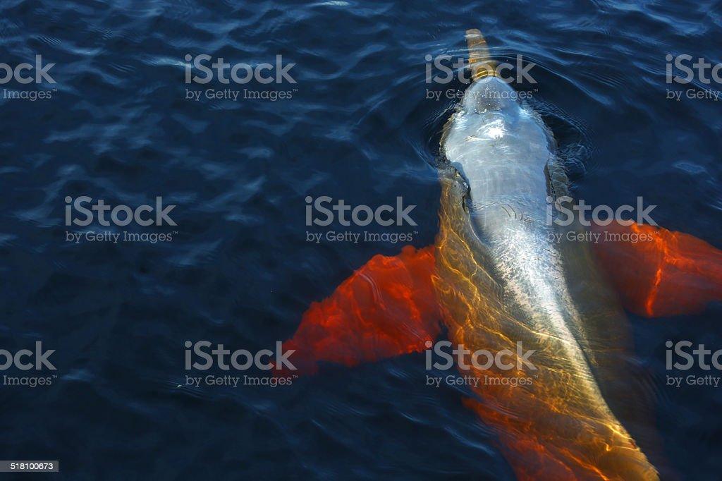 Boto dolphin in Rio Negro, Brasilien – Foto