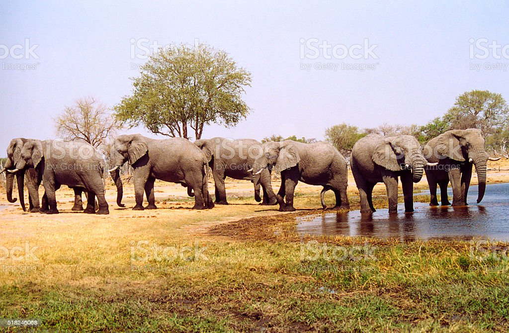 Botswana Safari: Herd of Elephants at Waterhole stock photo
