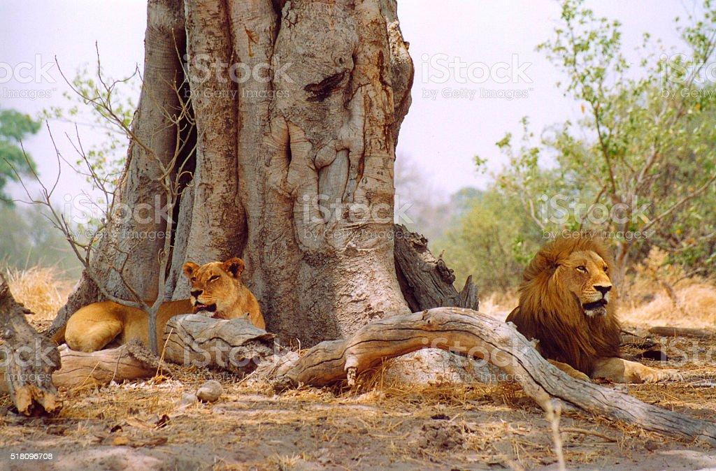 Botswana Safari: Lion Couple Lying Near Huge Tree Trunk stock photo