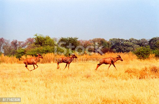 Botswana safari: three red hartebeest running in yellow grass. Copy space in the pale gray-blue sky.