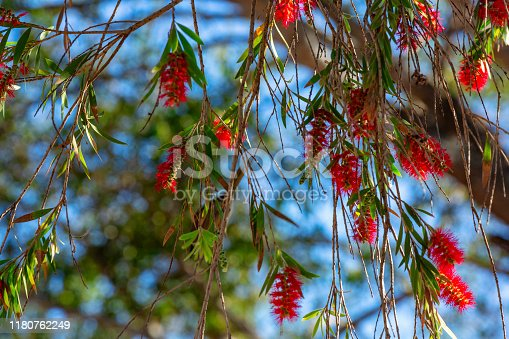 Bottle Brush tree red flowering blooms