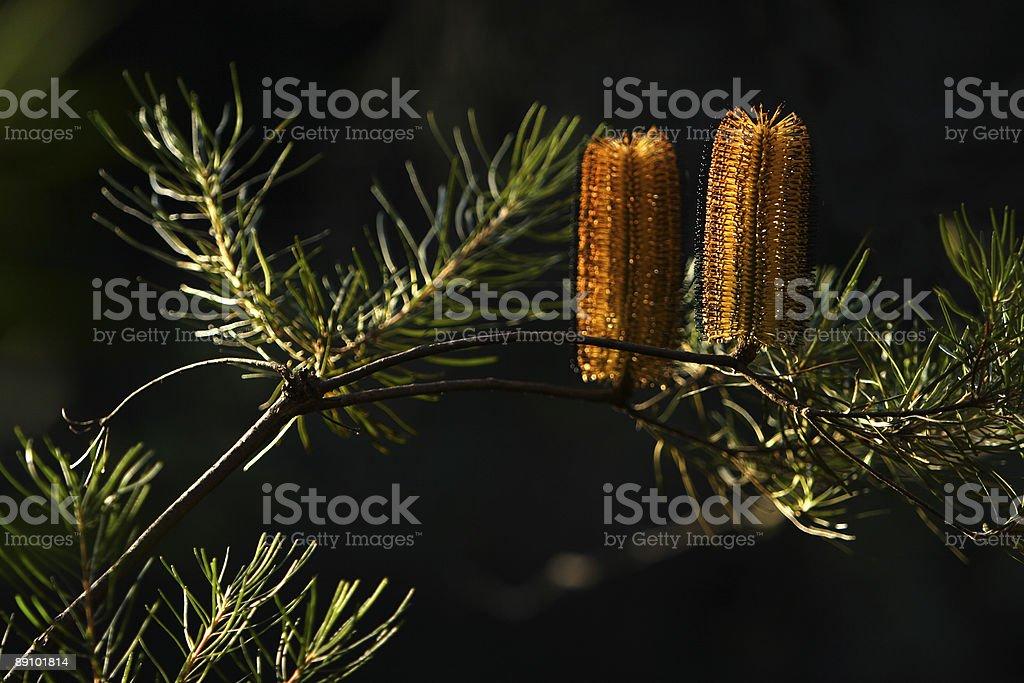 bottle brush tree royalty-free stock photo