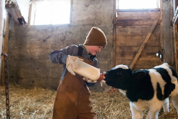 Bottle Feeding Calf Young boy bottling feeding a calf in a barn. dairy farm stock pictures, royalty-free photos & images