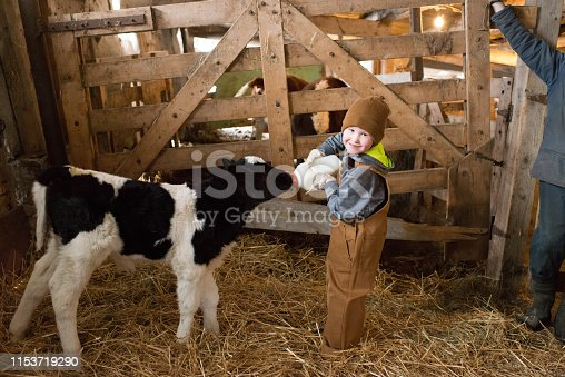 Young boy bottle feeds a calf in  barn.
