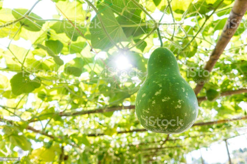 Bottle gourd (Lagenaria siceraria Standl.) stock photo