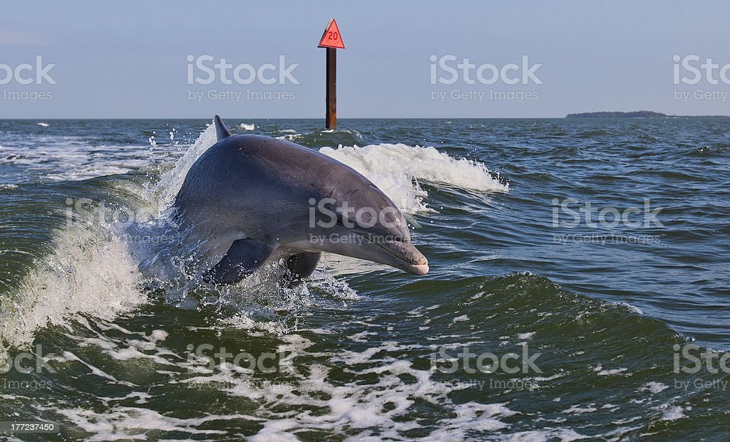 Bottle Nose Dolphin Jumping out of Wake stock photo