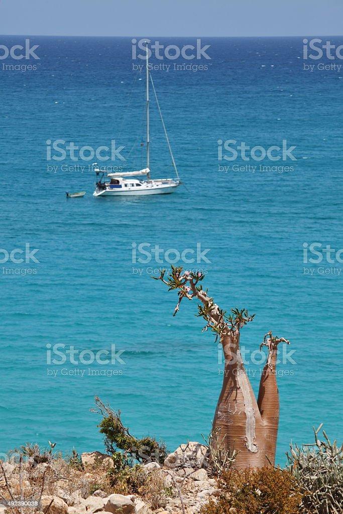 Bottle tree and yacht near Socotra island stock photo