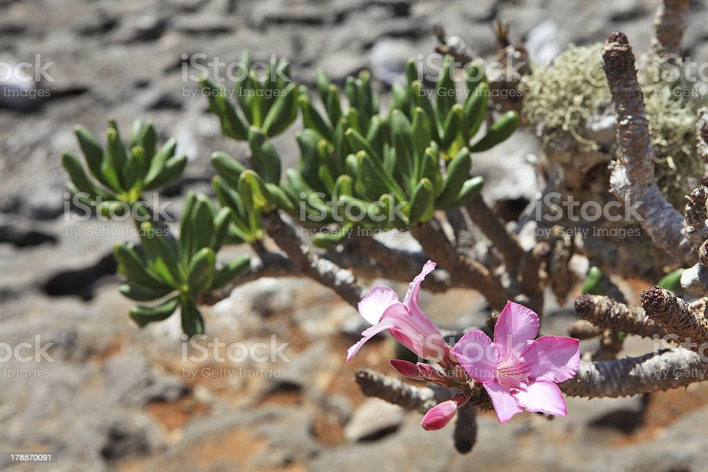 Bottle tree - endemic of Socotra Island stock photo