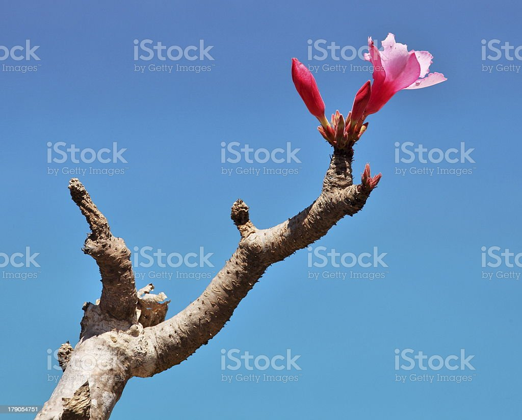 Bottle tree in flower - endemic of Socotra Island royalty-free stock photo