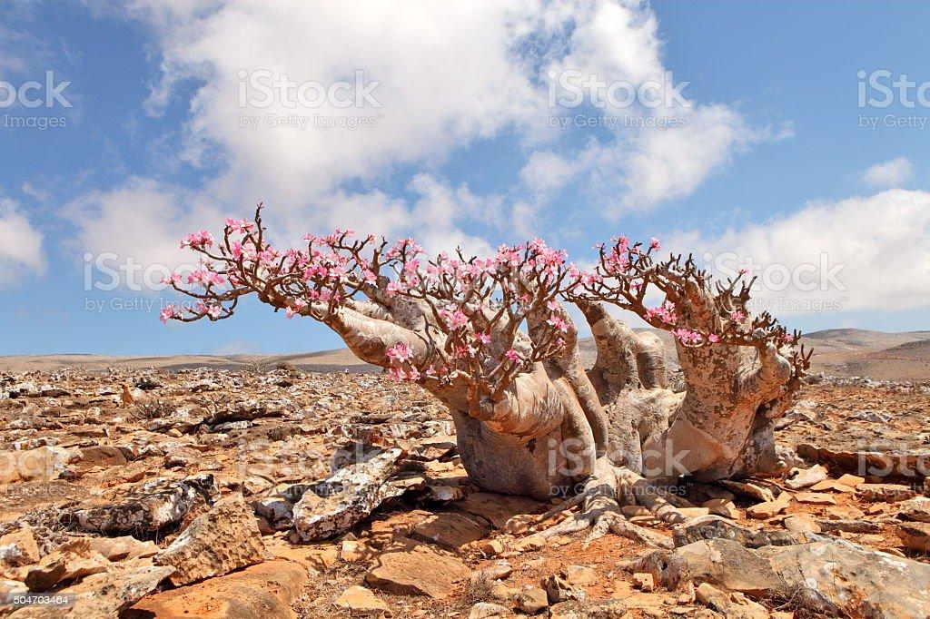 Bottle tree in flower - endemic of Socotra Island stock photo