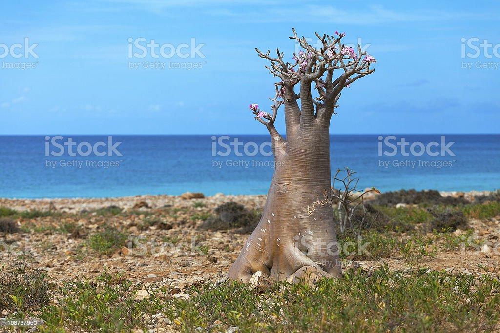 Bottle tree, island Socotra, Yemen stock photo