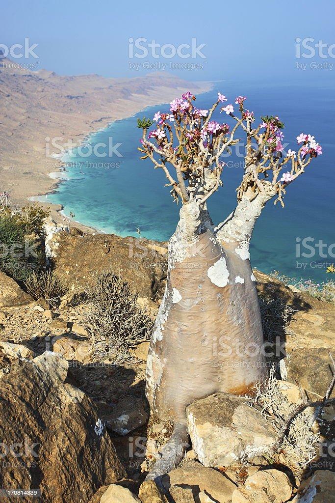 Bottle tree of Socotra Island stock photo