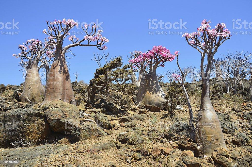 Bottle tree (desert rose - adenium obesum) on Socotra stock photo