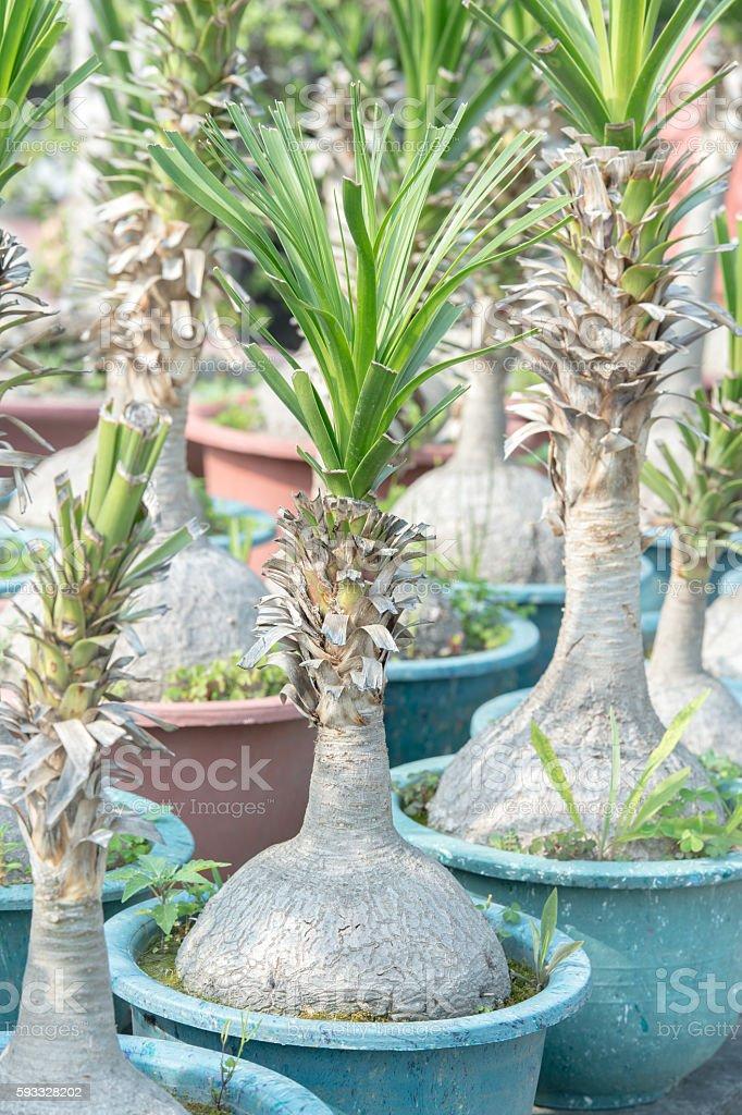 Bottle tree stock photo