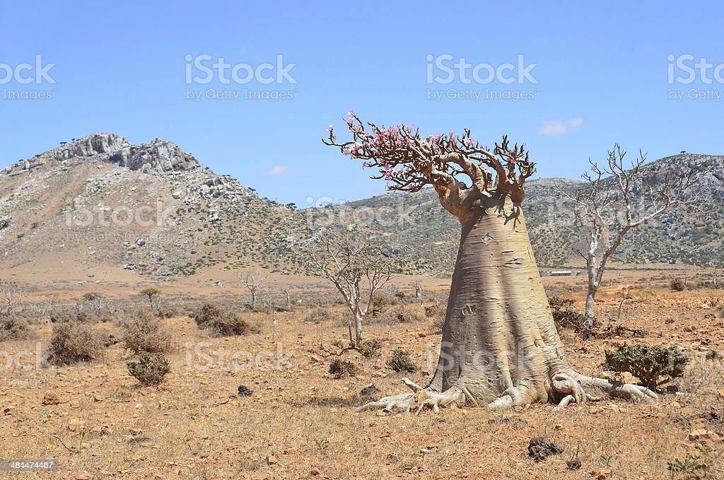 Bottle tree  (desert rose - adenium obesum), Socotra, Yemen stock photo