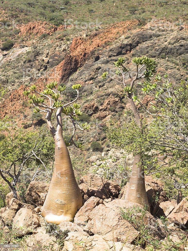 Bottle trees stock photo