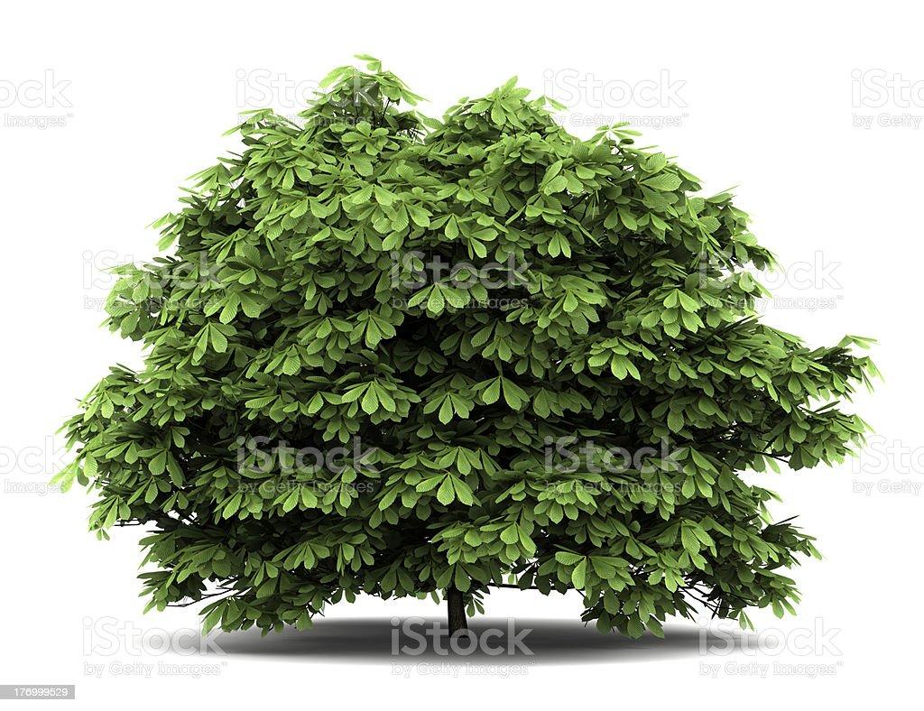 bottlebrush buckeye bush isolated on white background stock photo