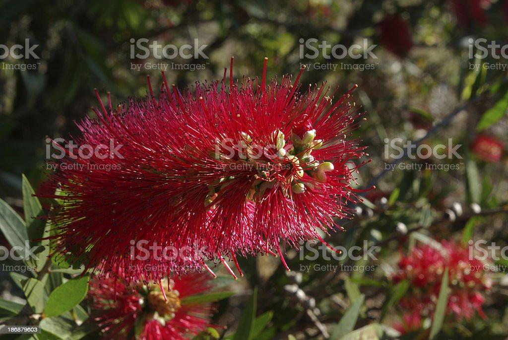 Bottlebrush flower stock photo