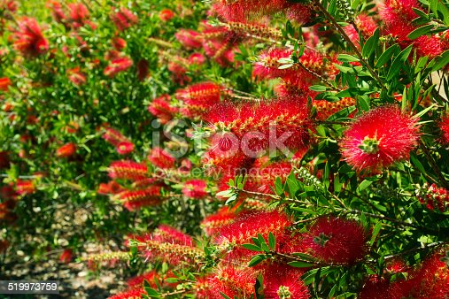 Bottlebrush flowers, a native plant of Australia.