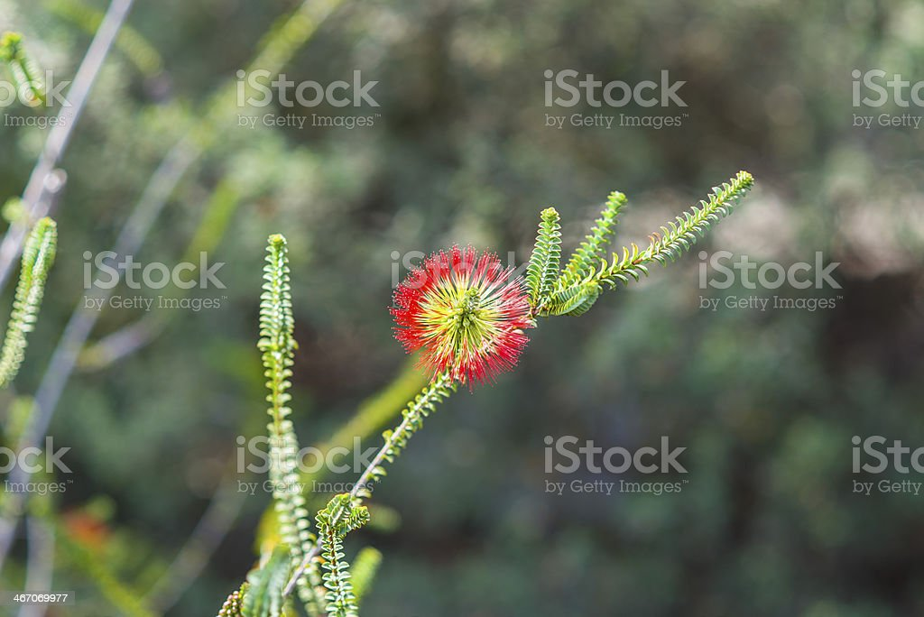 Bottlebrush plant in blossom royalty-free stock photo
