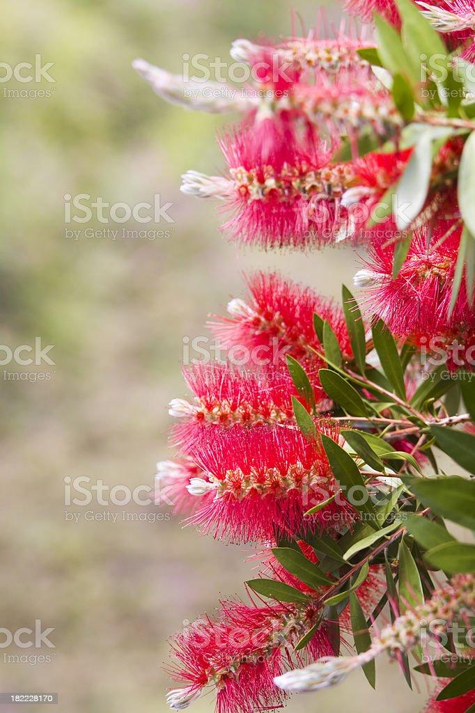 Bottlebrush Plant stock photo
