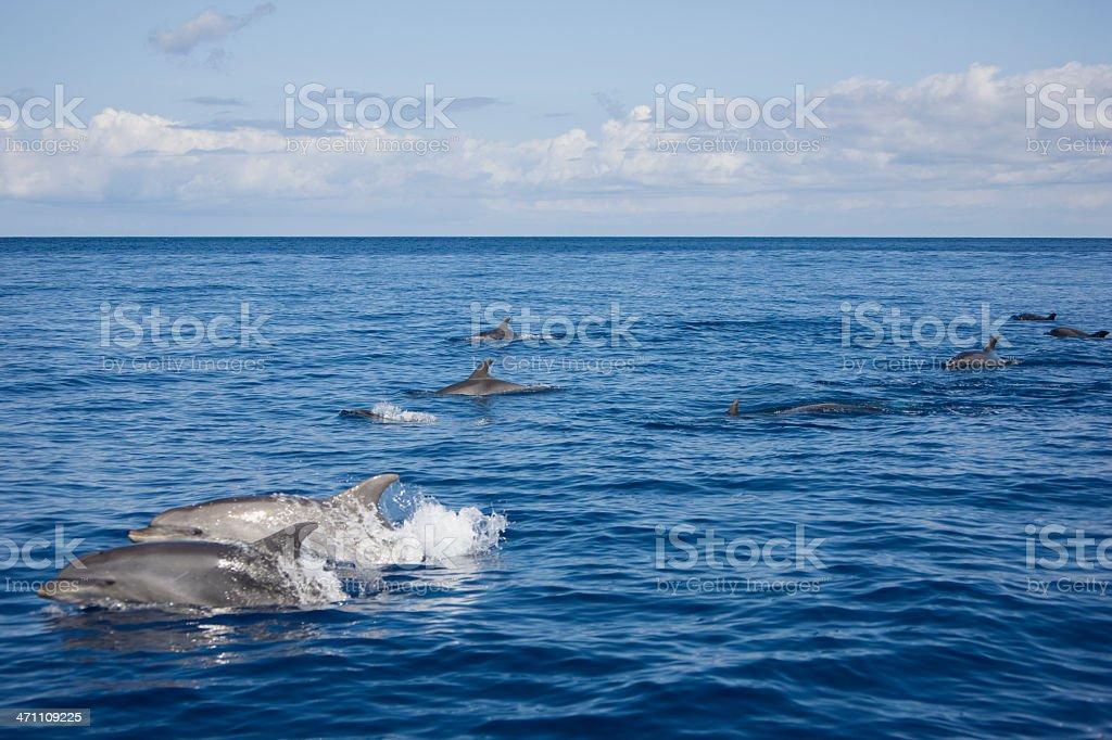 Bottlenose Dolphin Group royalty-free stock photo