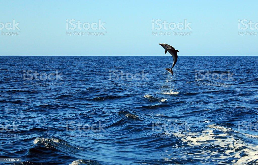 Bottlenose Dolphin Jumping bildbanksfoto