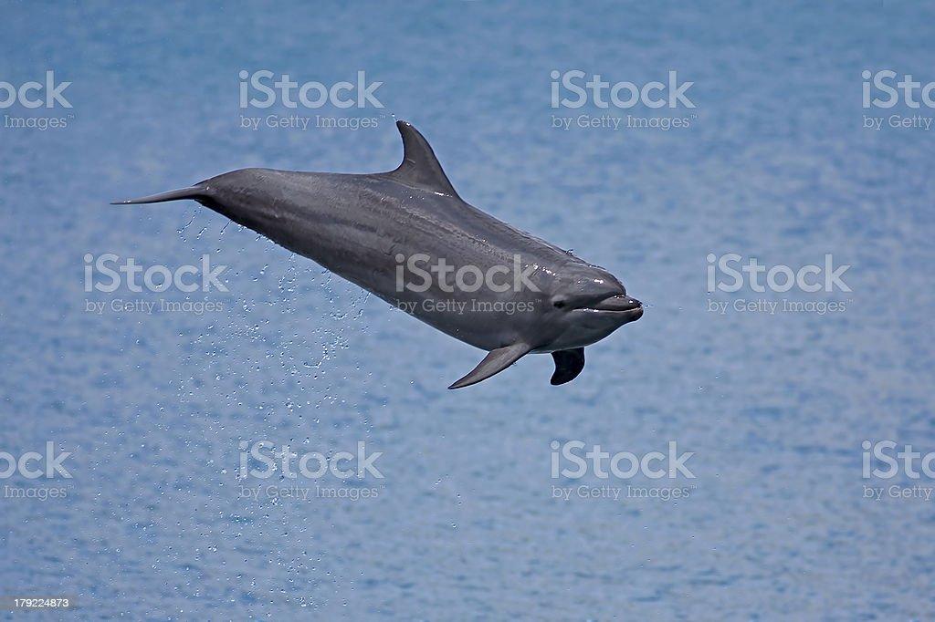 Bottlenose Dolphin royalty-free stock photo