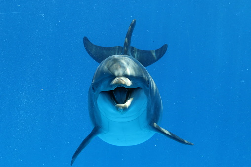 Underwater view of a playful bottlenose dolphin