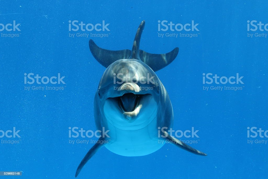 Bottlenose Dolphin stock photo